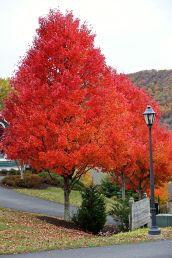 Orange Trees, Lamp Post