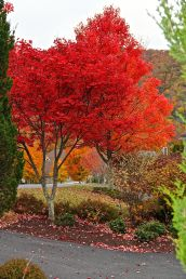 Pair of Red Trees