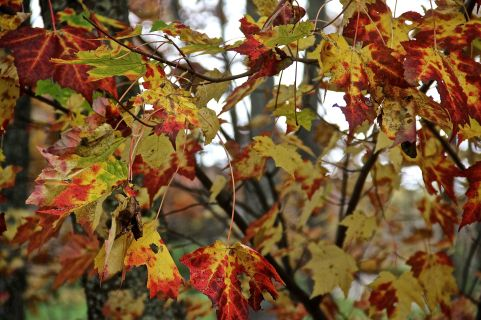 Red, Orange Leaves