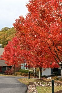 Red Trees_2