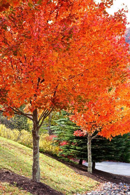 Two Orange Trees